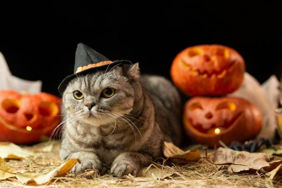 halloween cat wearing a hat with pumpkins