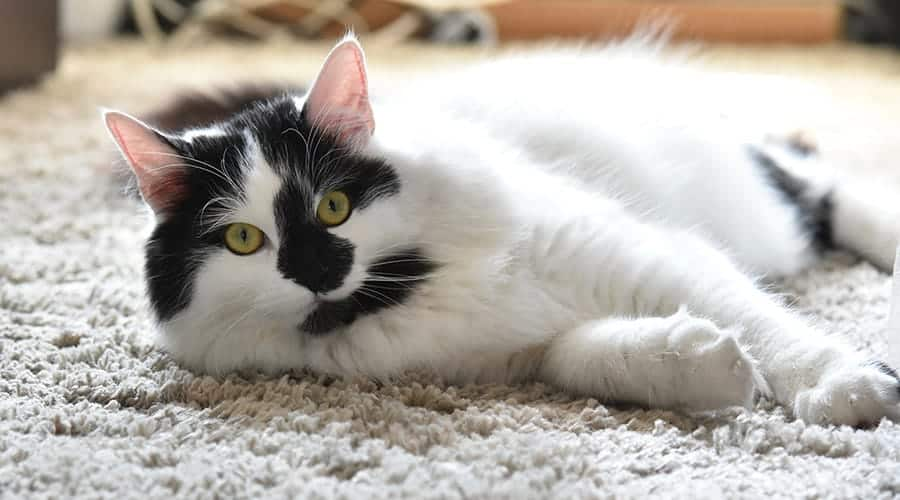 black and white cat names - kitten laying down